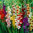 Gladioli Butterfly Mixed 12cm+