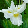 Iris sibirica Creme Chantilly