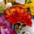 Freesia Giant Double Red