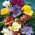Freesia Giant Double Pink