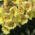 Antirrhinum Antirinca Yellow Maroon