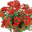 Nemesia Lyric Red