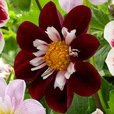 Dahlia Collarette Night Butterfly