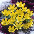 Eranthis in the Green (Winter Aconites)
