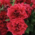 Petunia Double Tumbelina Collection