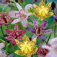 Tricyrtis Mixed