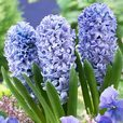 Prepared Hyacinth Delft Blue 16/17cm