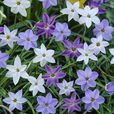 Ipheion Uniflorum Mixed