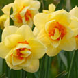 Narcissi Furbelow