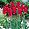 Tulip Red Shine