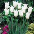 Tulip Fluted Collection (Lily Flowering)