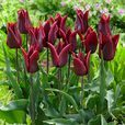 Fluted Tulips Collection