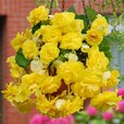 Begonia Giant Cascading Yellow