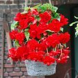 Begonia Giant Cascading Scarlet 5/6cm Tubers