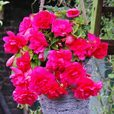 Begonia Giant Cascading Pink 5/6cm Tubers