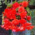 Begonia Giant Cascading Orange