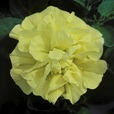 Surfinia Double Yellow