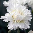 Dianthus Scent First Memories