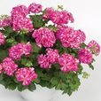 Geranium Double Trailing Mexica Nealit