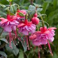 Fuchsia Award Winning Hardy Collection