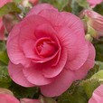 Begonia Non Stop Collection 5/6cm
