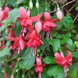Fuchsia Blaze Away (Trailing)