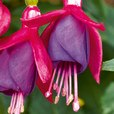 Fuchsia Patio Fairy Red Blue