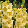 Gladioli Large Flowering Unusual Collection