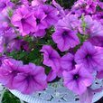 Petunia Giant Flowering Collection