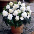 Begonia Non Stop Collection 3/4cm