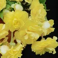 Begonia Illumination Trailing Collection