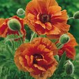 Papaver Collection (Oriental Poppy)