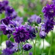 Aquilegia Barlow Collection (Double)