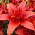 Lily Red Twin
