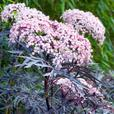 Sambucus Collection