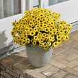 Argyranthemum Grandaisy Bright Yellow