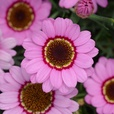 Arygyranthemum Grandaisy Mixed