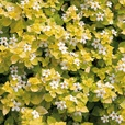 Bacopa Scopia Single Golden Leaf White