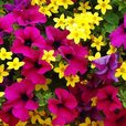Petunia and Bidens Collection (Trailing)
