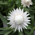 Helichrysum Nevada White