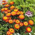 Helichrysum Nevada Orange