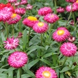 Helichrysum Nevada Rose