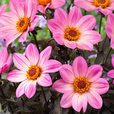 Dahlia Happy Days Pink (3cm Jumbo Plugs)