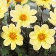 Dahlia Happy Days Lemon (3cm Jumbo Plugs)