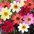 Dahlia Happy Days Mixed (3cm Jumbo Plugs)