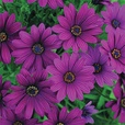 Osteospermum Single Flowered Mix