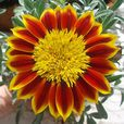 Gazania Hardy Sunbathers Collection