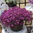 Lobularia Awesome Collection