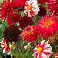 Dahlia Colour Blends Collection