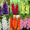 Gladioli Large Flowering Collection